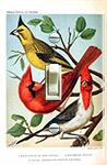Canaries and Cardinal