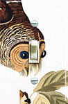 Audubon Barred Owl